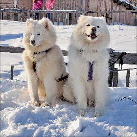 Белые сестрички.
