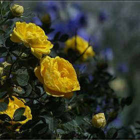 """""""Розовый куст с желтыми цветками"""""""