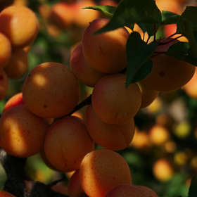 THE APRICOT