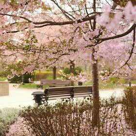 Цветение сакуры. Грозный