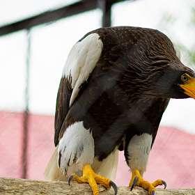 Белоплечий орлан.