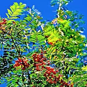 Рябиновые грозди