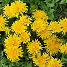 Когда весна в разгаре..Цветок расцвёл прилежно. Одуванчики. 12.05.2019 г. (1)