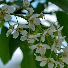 Когда весна в разгаре..Цветок расцвёл прилежно. Черемуха. 12.05.2019 г. (4)