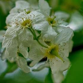 Когда весна в разгаре..Цветок расцвёл прилежно. Черемуха. 12.05.2019 г. (5)