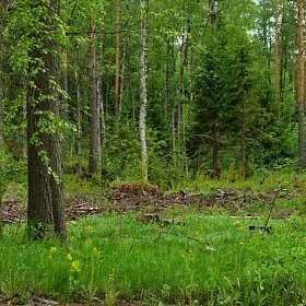 «Лес после дождя».(10)