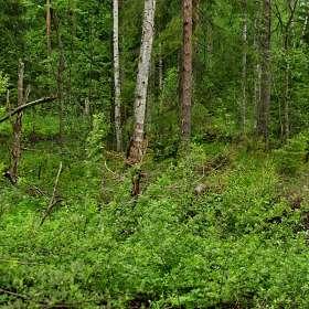 «Лес после дождя».(12)