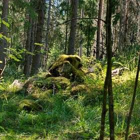 В лесу на Карельском перешейке. (4)
