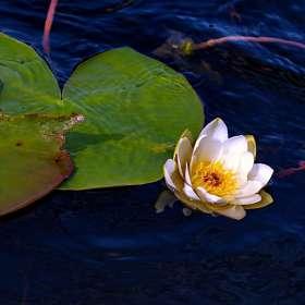 «Водяная лилия» - очаровательная и нежная белая кувшинка. (6)