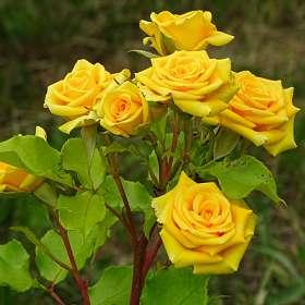Куст жёлтых роз