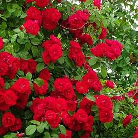 Живые розы как украшение строений