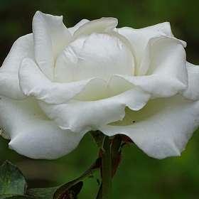 Белая королева цветов