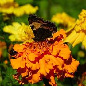 О бабочках
