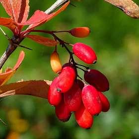Плоды барбариса