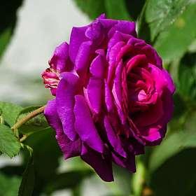 О розах.