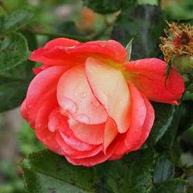 Розы октября.