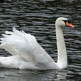 А Белый лебедь на пруду...!