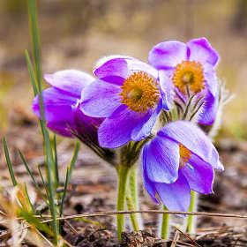 Сон-трава, наверное самая сказочный и таинственный цветок. Про сон-траву немало сказок и легенд, песен и стихов сложено. Сон-тра