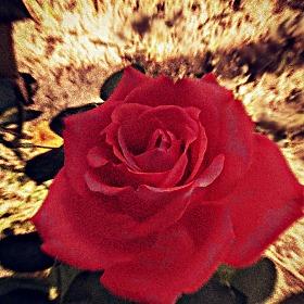"""роза   """"магия"""""""