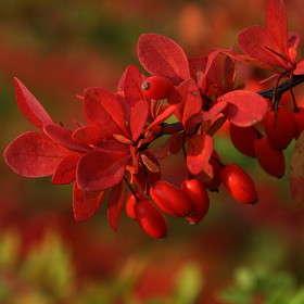 Красные листья, красные ягоды