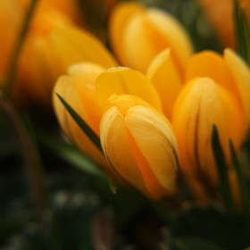 "Шафран желтый ""Golden Yellow"""